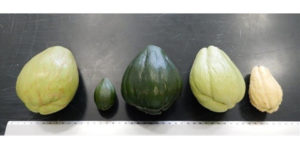 Mexico Sells Chayote to Japan as Genetic Resource